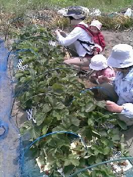 イチゴ摘み中
